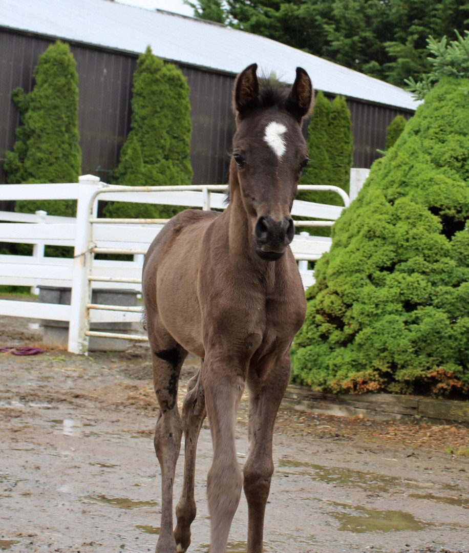2019 Filly (x Ffrench Connection)