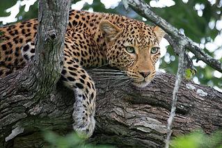 Africa Leopard.jpg