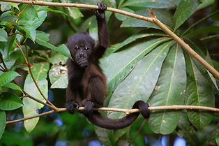 Costa Rica Baby Howler Monkey.JPG