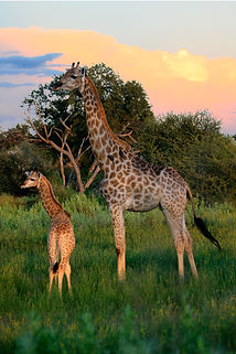Africa Giraffe.jpg