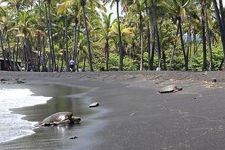 Hawaii Honu.jpg