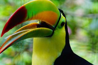 Toucan Belize Tourism.JPG