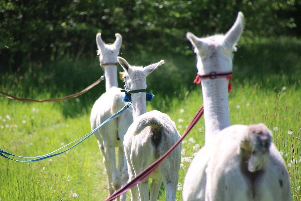Drei Lamas.jpg