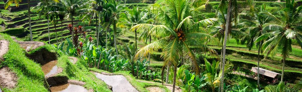 Beautiful green terrace paddy fields on
