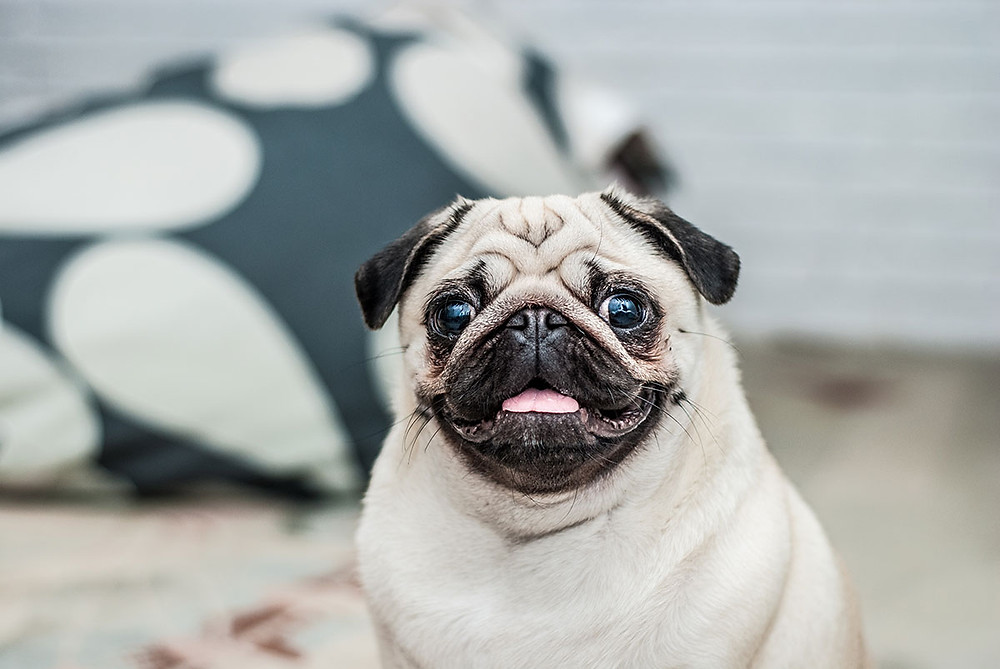 Pets, Pug, Furniture, Small Space, Toronto