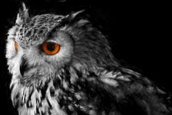 Owl watercolor Impression 2014