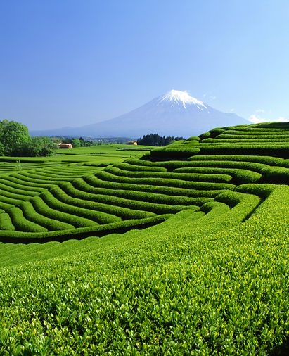 富士山と茶畑1.jpg