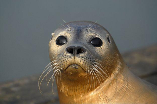 Pourquoi un phoque? Venez découvrir le Mariage de Barillon pour avoir la réponse à cette question.