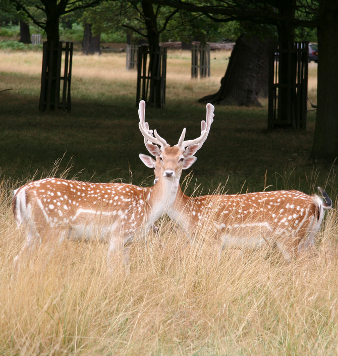 The Two Deer