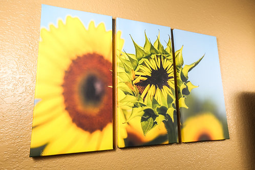 Waking up Sunflower - triptych photography