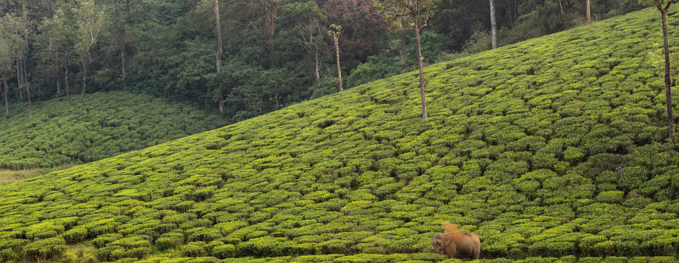ELEPHANT IN TEA ESTATE