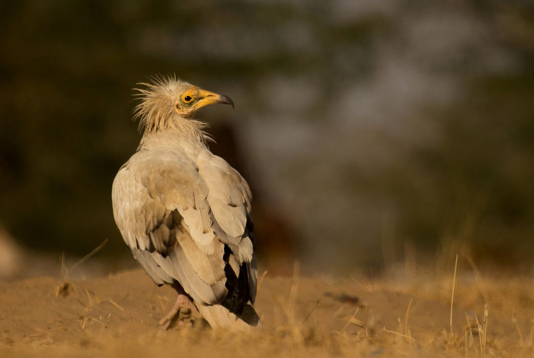 Pharaohs Chicken