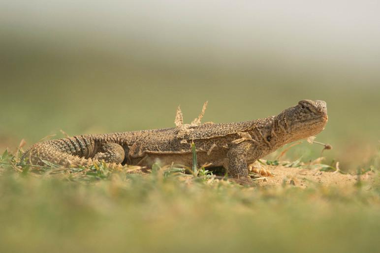 Moulting Lizard