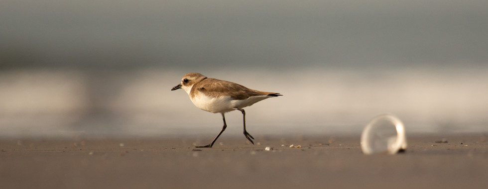 PLOVER AMIDST POLLUTION
