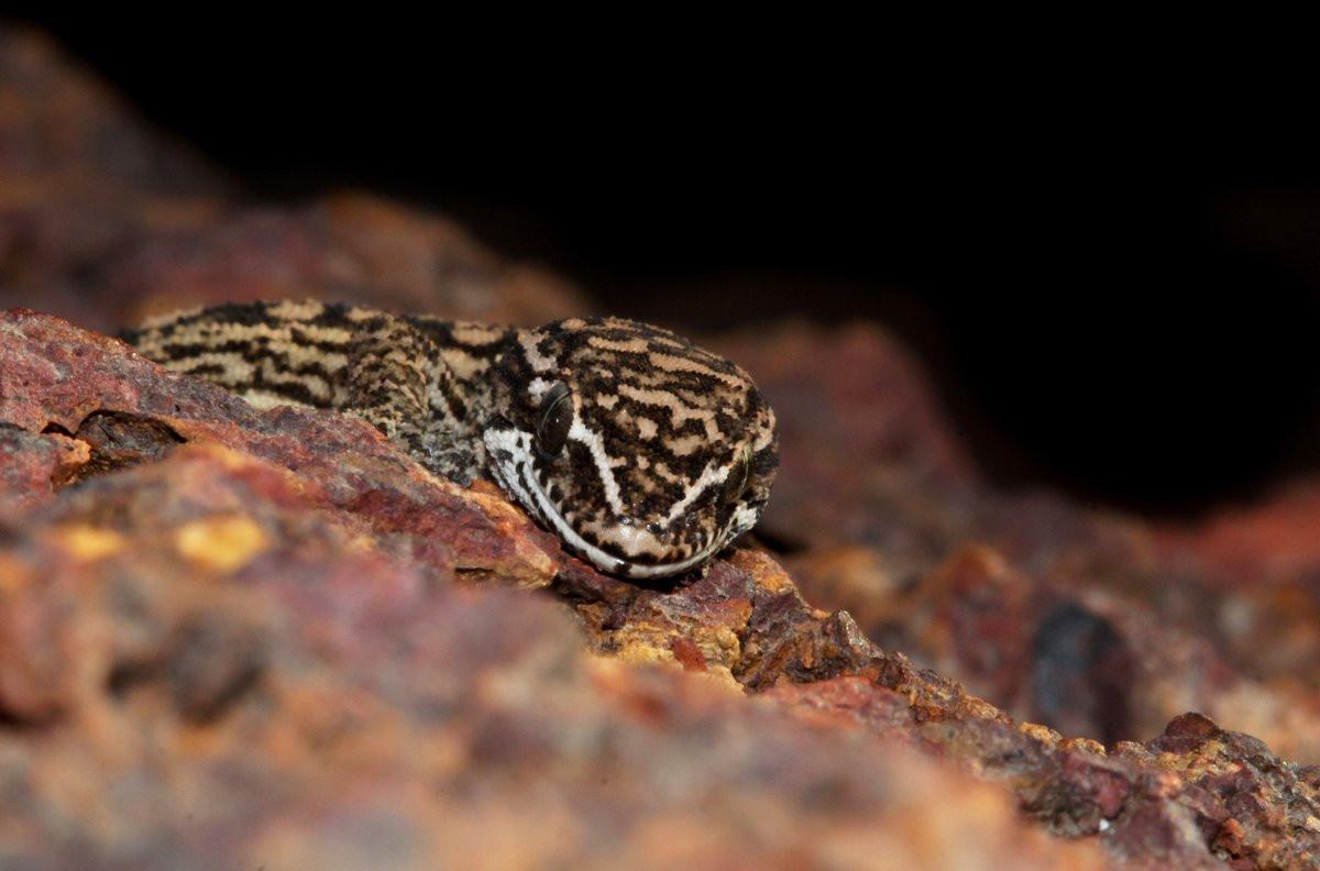 Satara Gecko