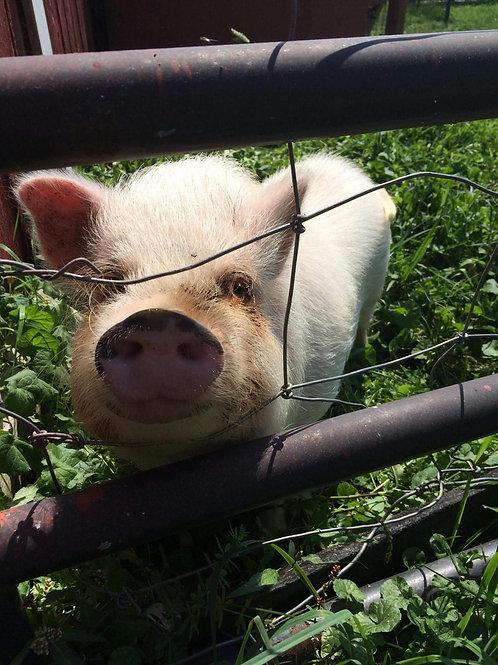Sponsor a Pig