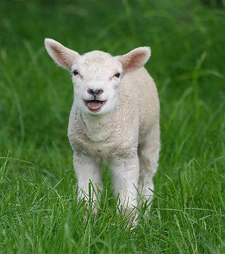 羊unnamed.jpg