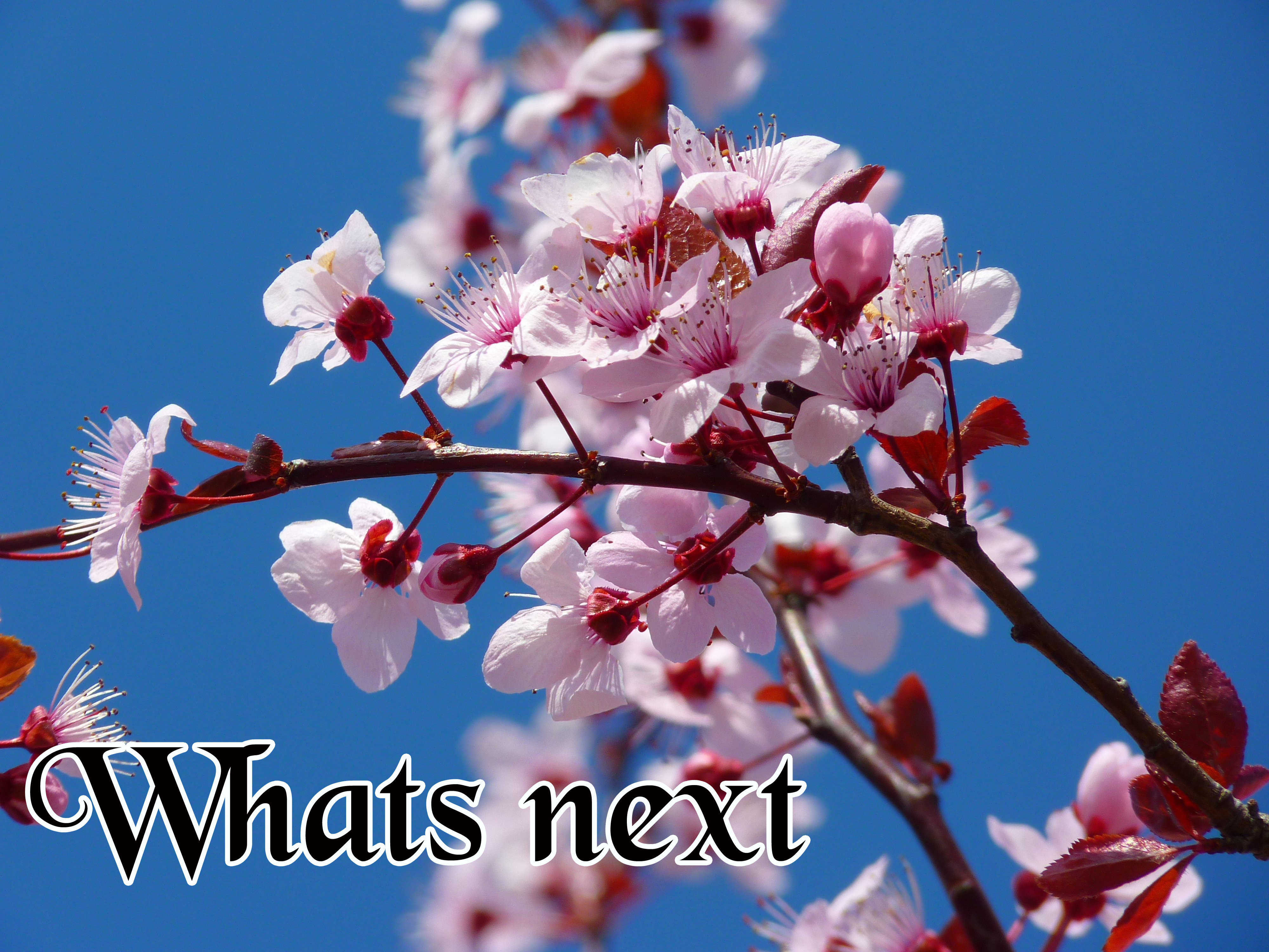bloom-blossom-cherry-blossom-87420