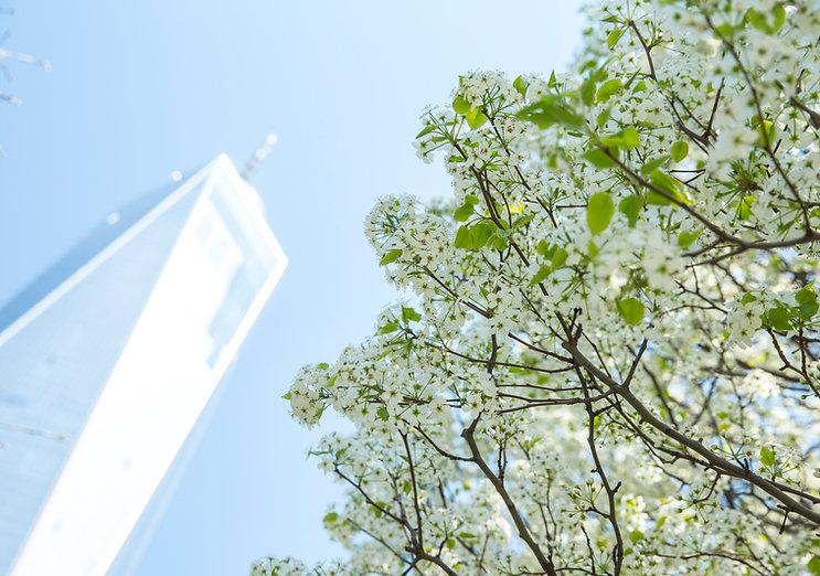 Survivor Tree bloom_credit Jin Lee.JPG
