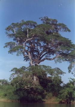 árvore757