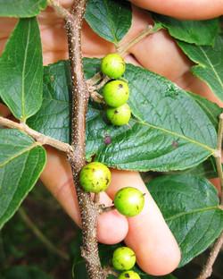 E - fruto (1)