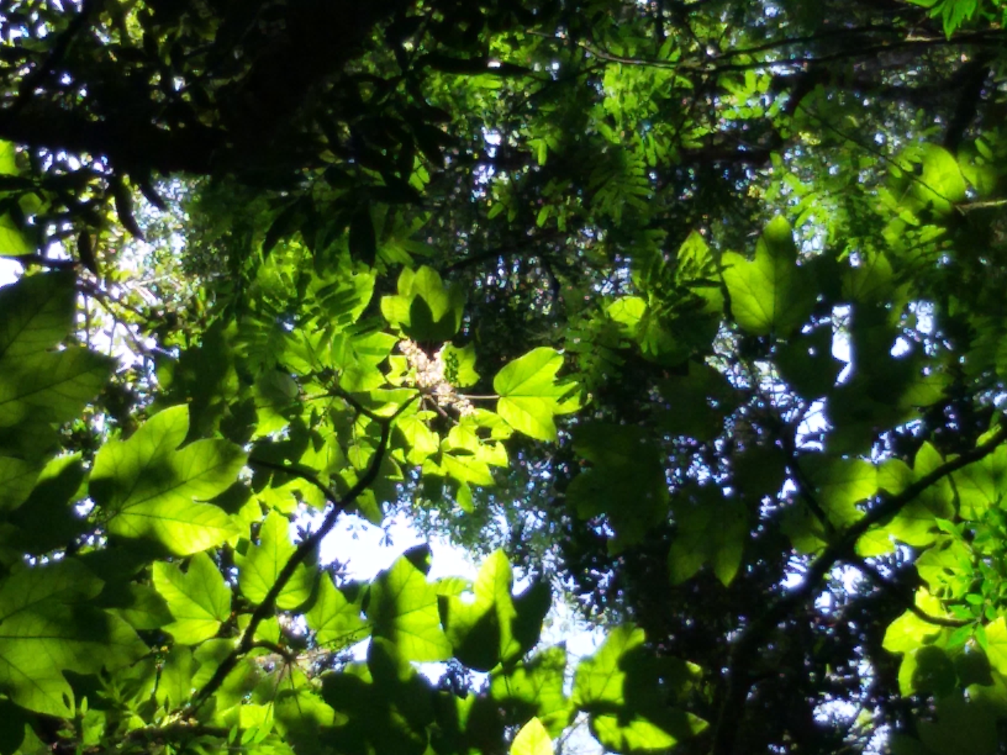 flor oreopanax 2 - Copia - Copia
