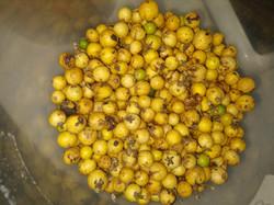 Casearia lasiophylla - Copia - Copia