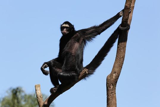 Macaco aranha de cara branca.jpg
