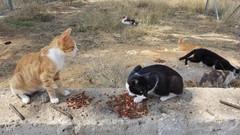 Cat feeding in Crete