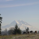 Mount Rainier with Horses in foreground