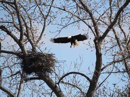 Bald Eagle Chicks Have Hatched