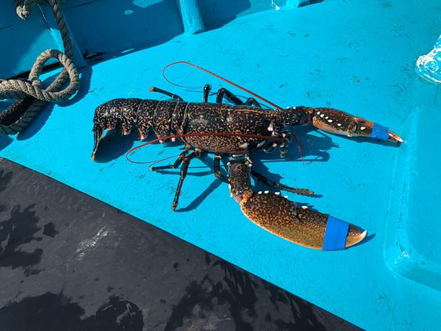homard de méditerranée