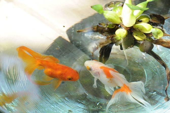 金魚を育てる