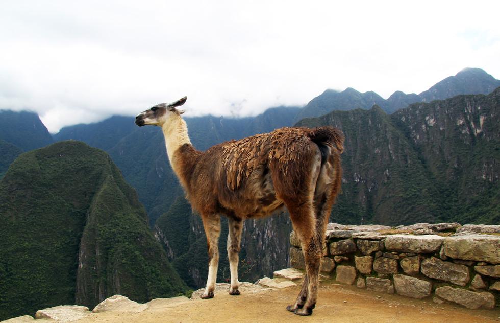 Machu Picchu Llama 1