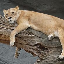 lioness-4261699_1920.jpg