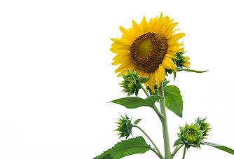Helianthus-Annuus-Seed-Oil.jpg