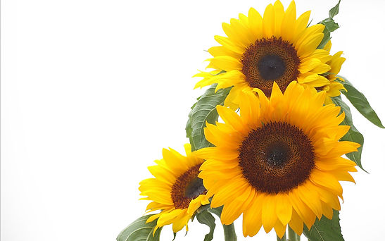 36118284-sunflower-images.jpg