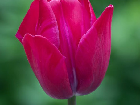 On tulips