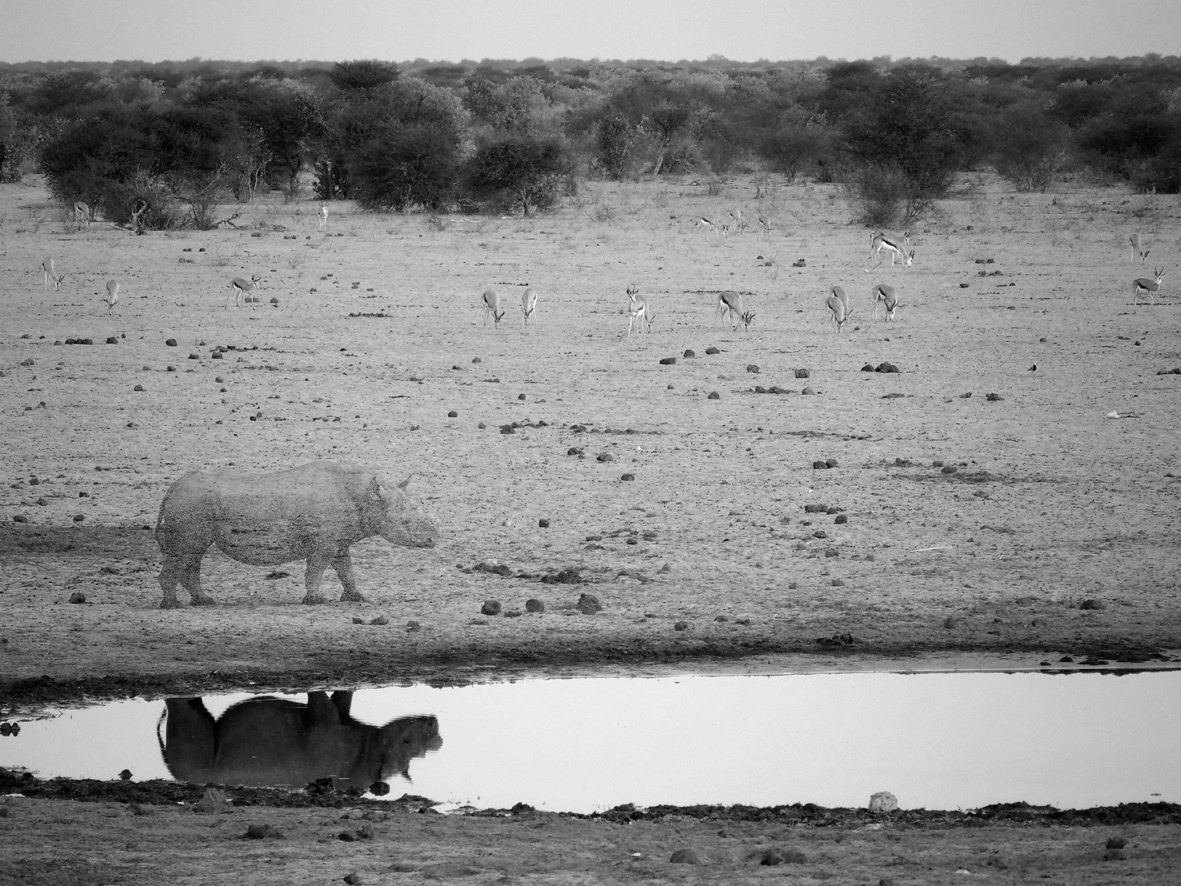 Disappearing Series (Black Rhino)