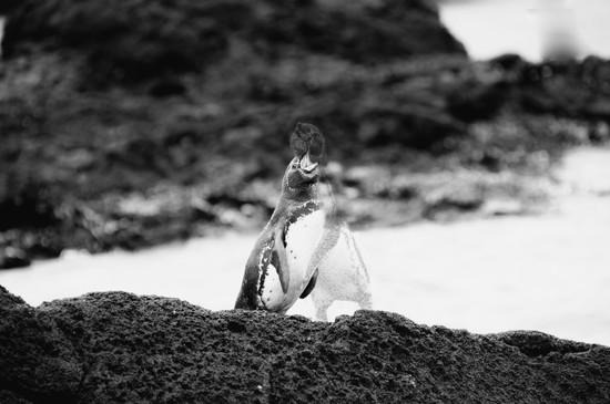 Galápagos Penguins