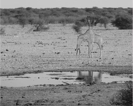 Disappearing Series (Giraffe)