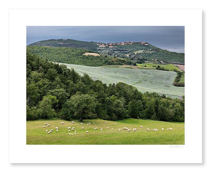 Sheep Near Montefollonico