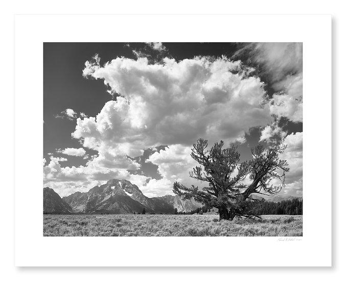 Mt. Moran & Limber Pine