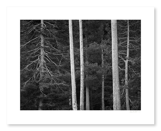 Lodgepole Trunks, String Lake