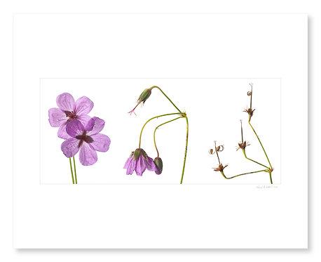 Wild Geranium Triptych