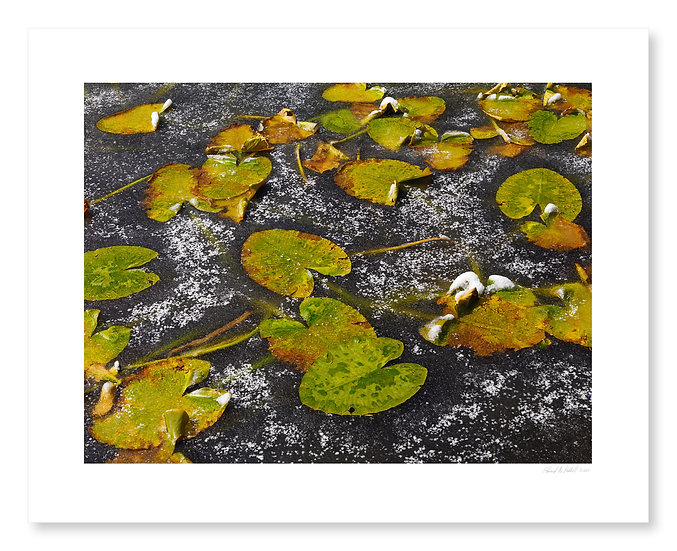 Lilypads, Isis Lake