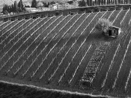 Brunello vineyard
