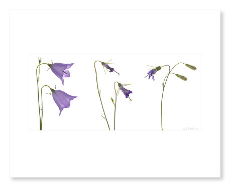 Harebell Triptych