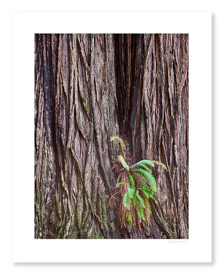 Redwood Trunk & Fern