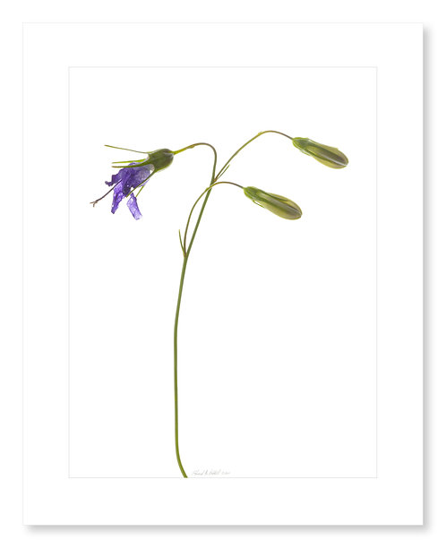 Harebell in Seed